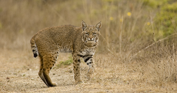 Lynx by Matt Knoth
