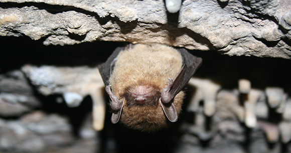 Protection Of Indiana Bats
