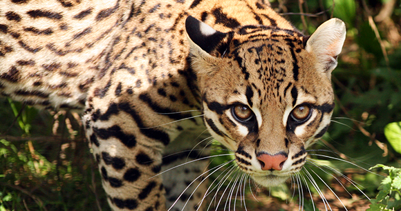 Protection of ocelots - Photo by Debs