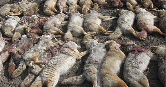 Photo of Killed Coyotes