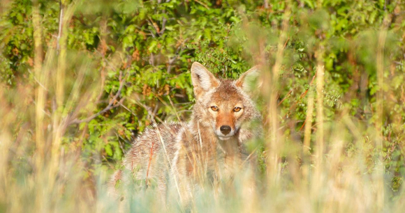 Coyote - Photo from Flickr by Larry 1732