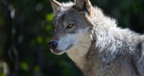 Your Help Is Urgently Needed for Wolves - Photo by Lou Gold