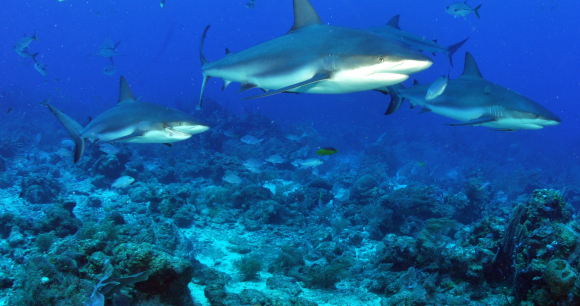 Help Sharks and Rays in Fernando do Noronha - Photo from flickr jdphotos2007