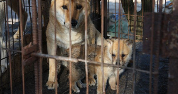 Dogs in Crates from Dog Farm