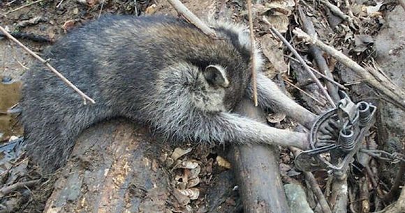 Refuge from Cruel Trapping Act - Photo by AWI
