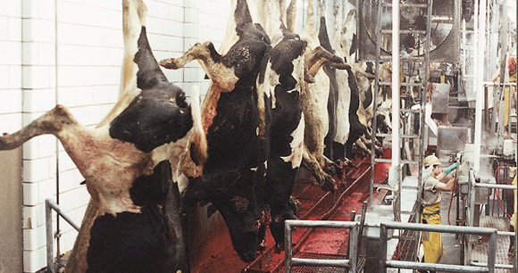 Humane Methods of Slaughter Act - Photo by AWI