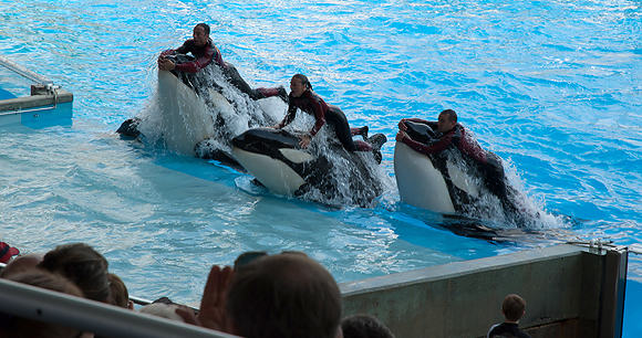 Captive orcas - photo by Shelley Powers