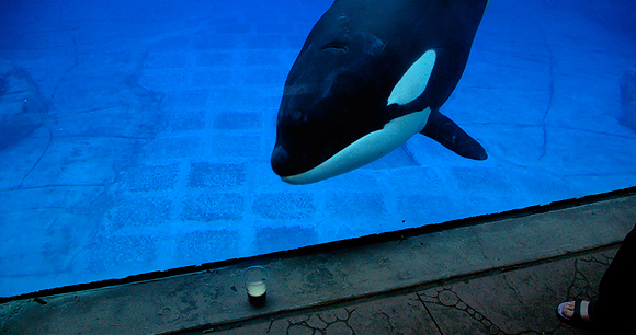 Captive orca - Photo by stretchdog