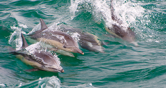 Dolphins - Photo by John Liu
