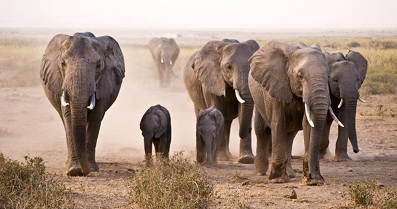 Elephants - Photo by Nick Carson