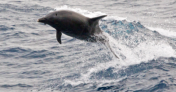 Small cetacean hunts - Photo by Mike Prince
