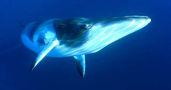 minke whale - photo by Len2040