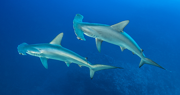 Scalloped hammerhead - Photo by atese
