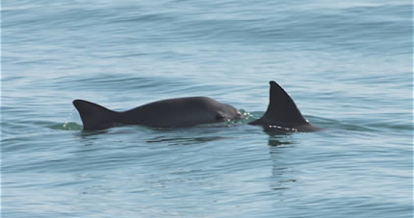 Photo of two vaquitas, by Tom Jefferson