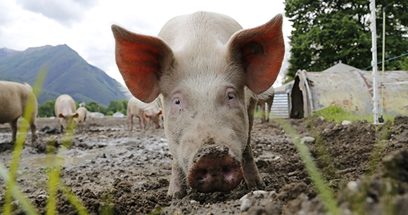 Photo of Pig on Farm