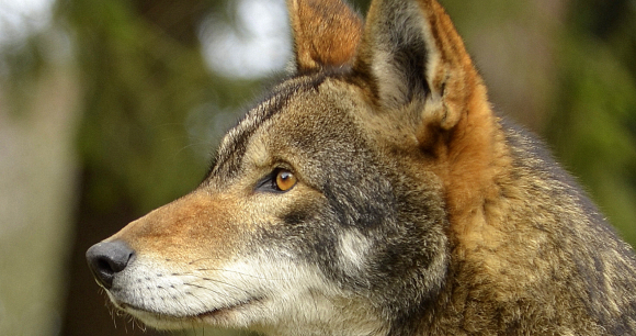 Court Halts Coyote Hunting in Red Wolf Recovery Area - Photo by Doug Weston