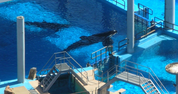 Tilikum in 2010 - Photo by Dr. Naomi Rose