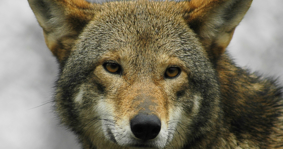 Court Halts NC Spotlight of Coyotes After 4th Red Wolf Shot - Phoyo by Ucumari