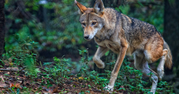 Red Wolf Photo by Jim Liestman