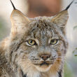 Canada lynx - Photo by Eric Kilby