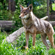Protection of red wolves - Photo by Jesse McCarty