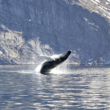 Please Help Prevent Pirate Whaling by Greenland - Photo by Klaus Eugenius