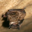 PA Bats in Imminent Danger - Photo from USFWS Headquarters