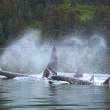 Urge Your Representative to Help End Orca Captivity - Photo by Patrick Moody