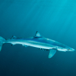 Shark Fin Sales Elimination Act - Photo by iStock