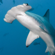 Shark Conservation Act - Photo by Dmitry Miroshnikov
