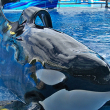 Photo of Tilikum by Brandy Kregel