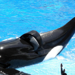 Photo of Tilikum, from Flickr by Milan Boers