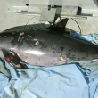 This 2008 photo shows a vaquita that died due to entanglement in shrimp gear.