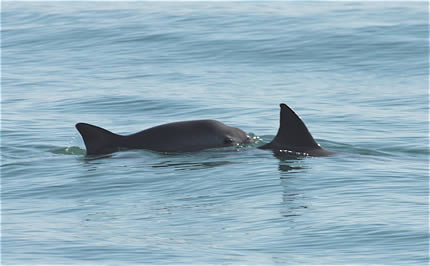 Vaquita - photo by Lorenzo Rojas-Bracho