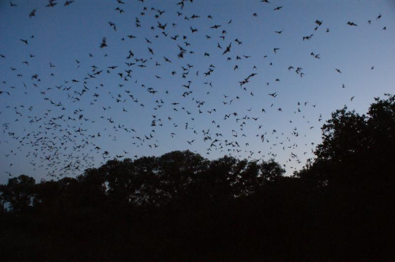 10 Million Bats + 3,800 Houses = Bad News for Bats - Photo by Daniel Spiess
