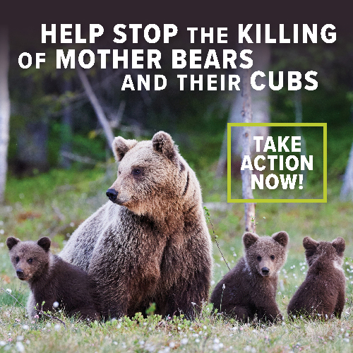 Help Prevent Hunting of Bear Cubs in Dens