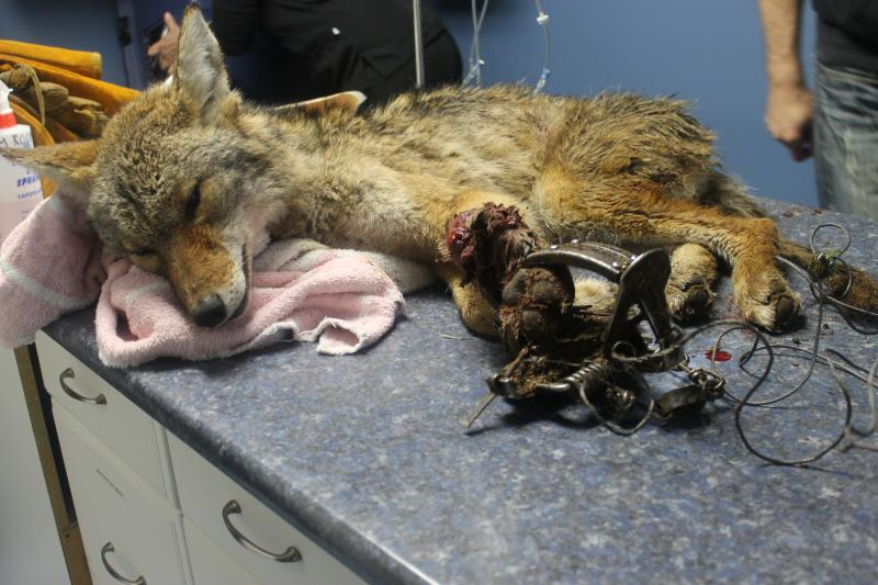 This young coyote, caught in a leghold trap for atleast two days, tried to gnaw his leg off. Photo by Critter Care Wildlife Society