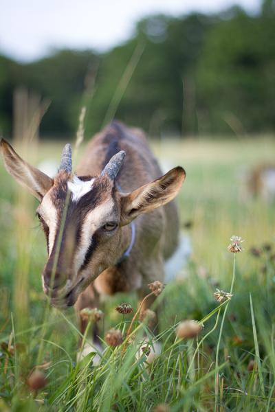 Farm Animal Legal Protections - Photo of Goat by Mike Suarez