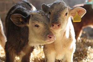 Learn more about the raising of farm animals by clicking here