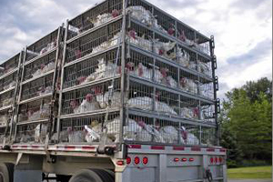 Learn more about the transport of farm animals by clicking here.