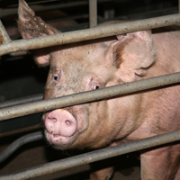 Ask Congress to Put an End to Large Factory Farms!