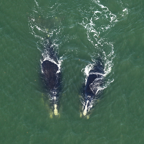 Urge Congress to SAVE Right Whales