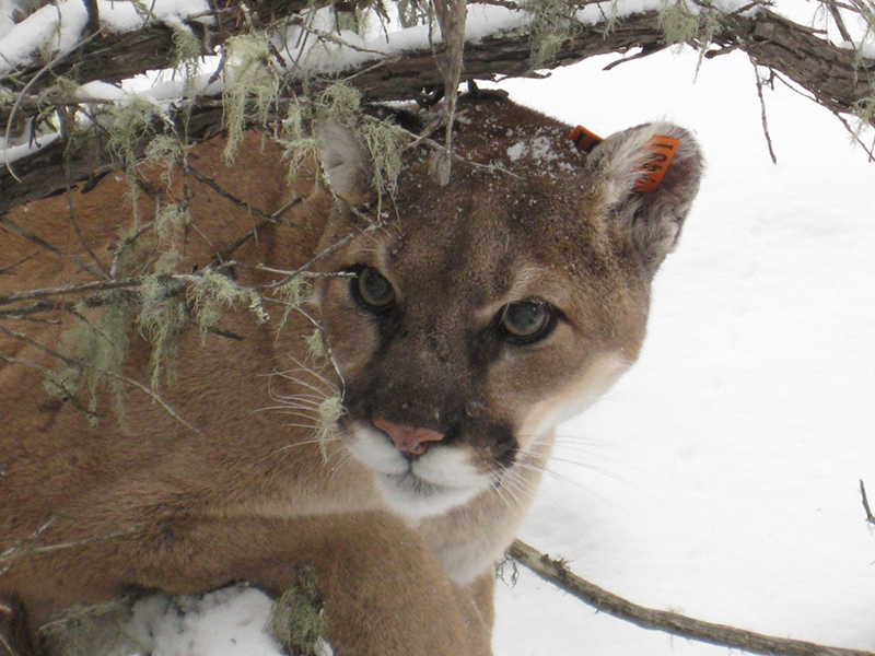 County Violated California Environmental Quality Act - Photo of Mountain Lion from USFWS