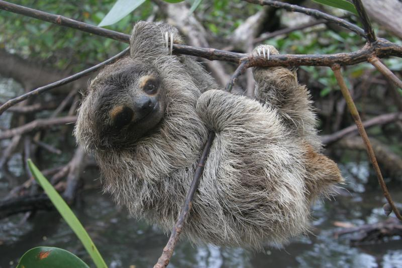 AWI Seeks Emergency Protection for World's Smallest Sloth - Photo by Bryson Voirin