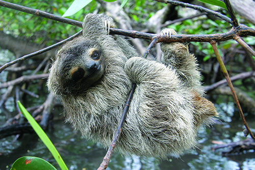 Please Tell USFWS to Protect Pygmy Three-Toed Sloths - Photo by Bryson Voirin