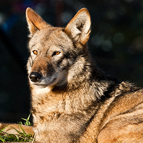 Court Stops US Fish & Wildlife Service from Jeopardizing Red Wolf Survival