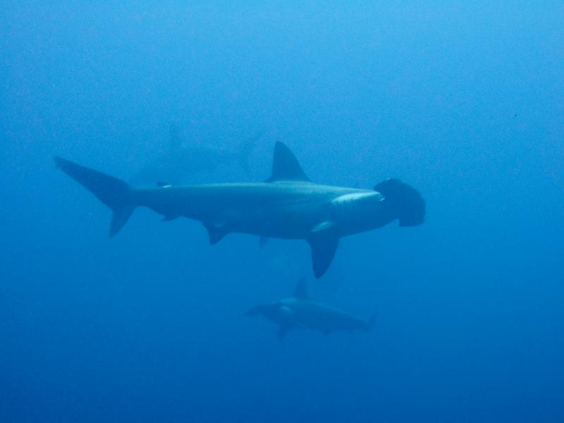 Tell NOAA to Protect Hammerhead Sharks Under the Endangered Species Act! - Photo by Clifton Beard