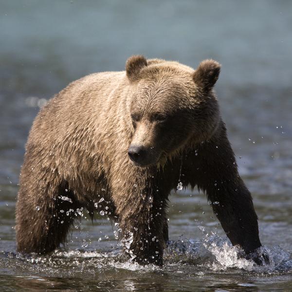 Brown Bears in Kenai National Wildlife Refuge Need Our Help