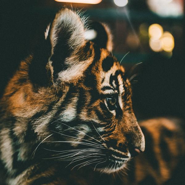 Tiger King: Series Shocks but Skates Past Animal Suffering