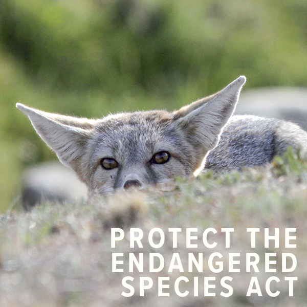 Urgent: Protect the Endangered Species Act!